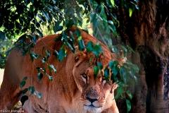 Grandes Felinos na ONG Rancho dos Gnomos
